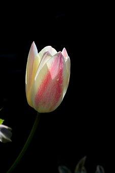 Tulip, White, Pink, Tulipa, Merry, Garden, Romantic