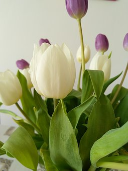 Tulip, Plant, Flower, White, Violet, Home, Leafs, Green