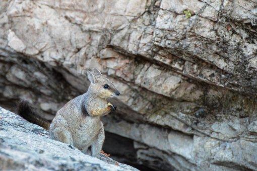 Rock-wallaby, Black Footed Rock Wallaby, Wallaby