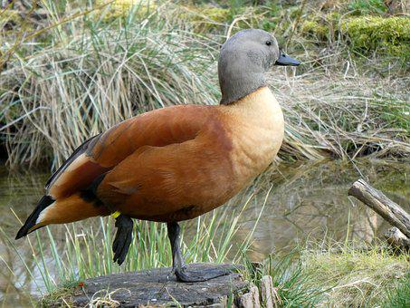 Rust Goose, Tadorna Ferruginea, Goose, Water Bird, Bird