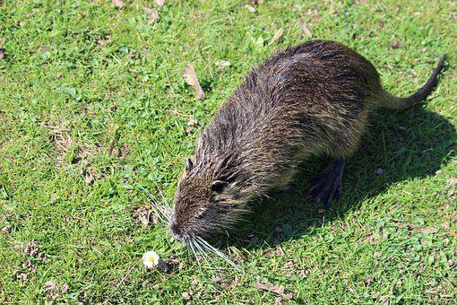 Nutria, Beaver, Aquatic Animal, Flora, Fauna, Waters