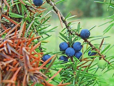 Bush, Sloes, Nature, Plant, Autumn, Close Up, Bushes
