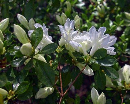 White Azalea, Blossoms, Azalea, Bloom, Spring, White