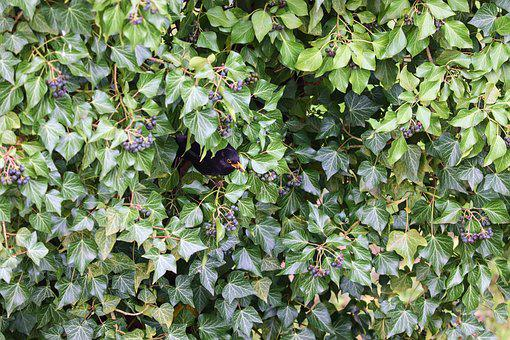 Ivy, Blackbird, Hiding Place, Thief, Berries