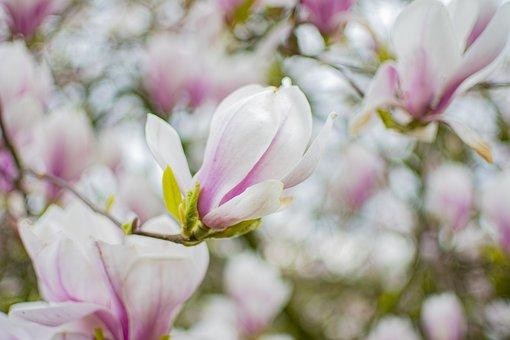 Magnolia, Tree, Spring, Bloom, Pink, Nature, Plant