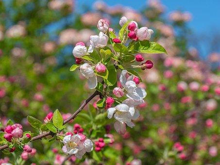 Tree Blossoms, Apple Blossom, Branch, Spring, Bud