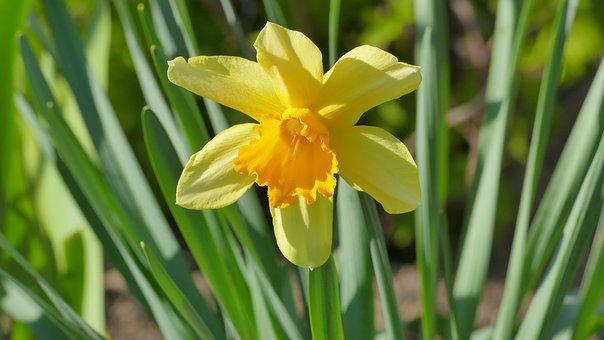 Narcissus, Daffodil, Flower, Spring, April, Yellow