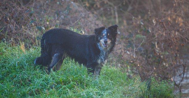 Wet Dog, Collie, Border Collie, Damp, Dew, Morning