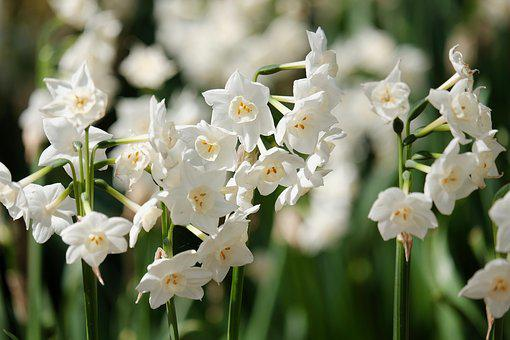 Flowers, Narcissus, White, Discourse, Spring