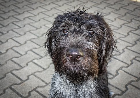 Dog, Black Dog, German Wire Hair, Hunting Dog, Black