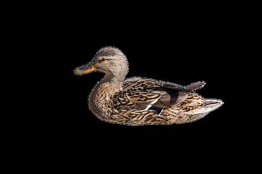 Wild Duck, Swim, Hen, Isolated, Mallard, Duck, Bird