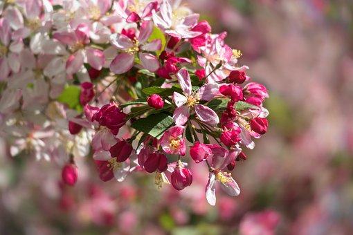Embellishment, Blossom, Bloom, Bloom, Apple Blossom