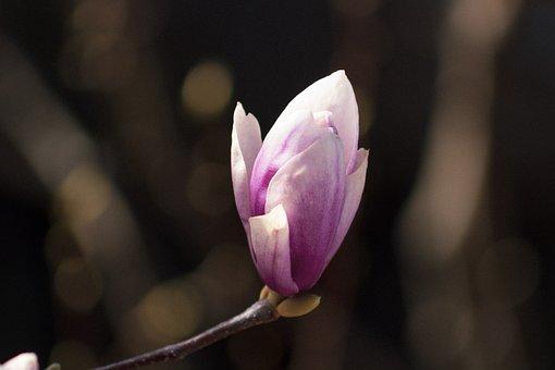 Plant, Flora, Flower, Bloom, Magnolia, Blooms At, Pink