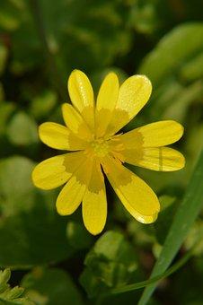 Celandine, Flower, Perennial, Spring, Plants, Garden