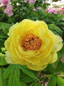 In Full Bloom, Flower, Peony, Spring, Yellow