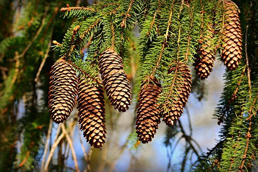 Cone, Pine, Fruit, Tree, Conifer, Branch, Evergreen