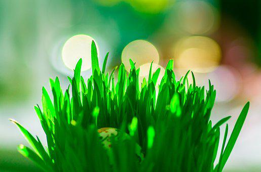 Easter Oats, Easter Traditions, Green, Spring, Grass