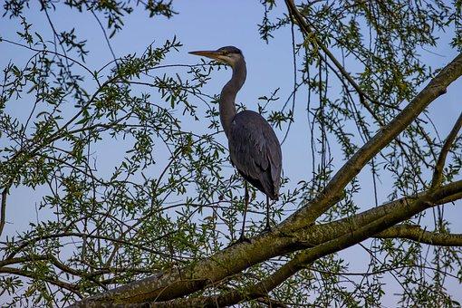 Grey Heron, Heron In Tree, Resting, Heron At Dawn, Tree