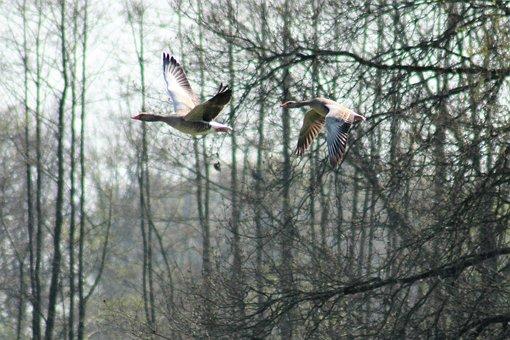 Geese, Bird, Animals, Migratory Birds, Fly