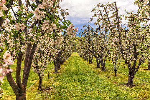 Apple, Trees, Fruit, Branch, Ripe, Orchard, Red, Nature