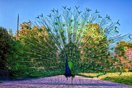 Peacock, Peafowl, Bird, Pattern, Plumage, Wildlife