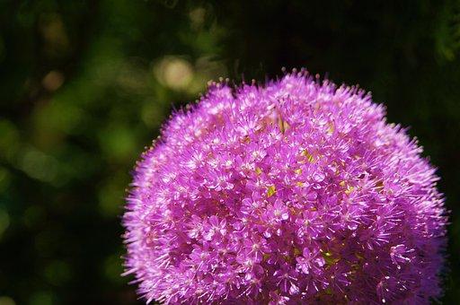Blossom, Bloom, Garden, Purple, Full, Flower