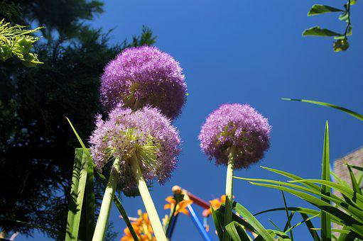 Ornamental Onion, Blossom, Bloom, Large, Purple