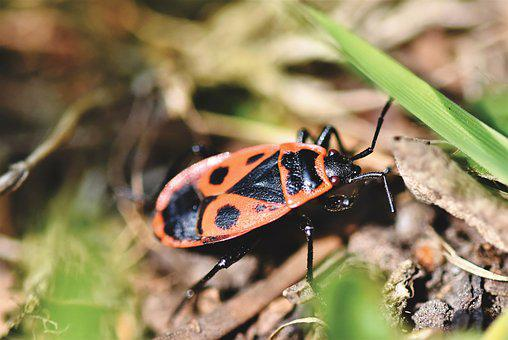 Fire Bug, Bug, Beetle, Insect, Crawl, Red, Insect Photo