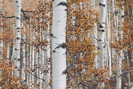 Aspen, Tree, Forest, Nature, Autumn, Fall, Leaf, Season