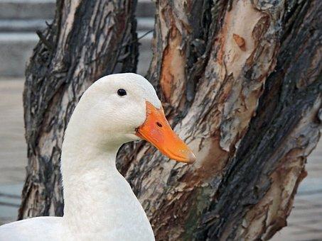 Duck, Laguna, Birds, Waterfowl, Water, Nature
