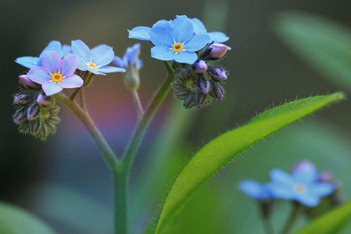 Forget Me Not, Blossom, Bloom, Flower, Blue
