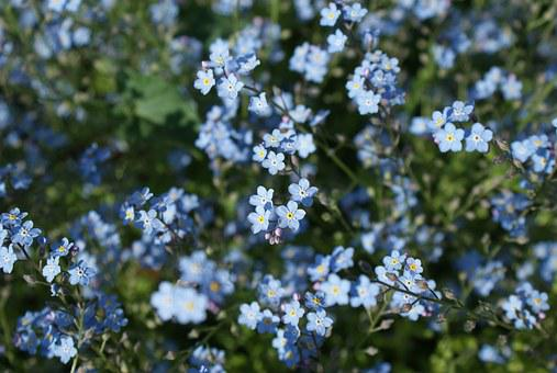 Flowers, Forget Me Not, Blue, Plant, Bloom, Spring