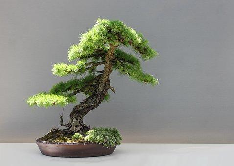 Bonsai, Larch, Japan, Culture, Japan Garden, Larix