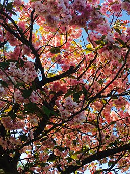 Blossom, Bloom, Cherry Blossom, Japanese Cherry, Sky
