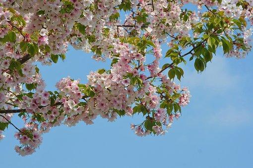 Wild Cherry, Cherry Blossoms, Flowers, Pink, Faint Pink