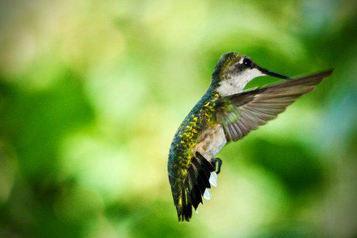 Hummingbird, In Flight, Summer, Bird, Nature, Female