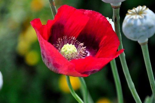 Poppy, Red, Klatschmohn, Flower, Garden, Field