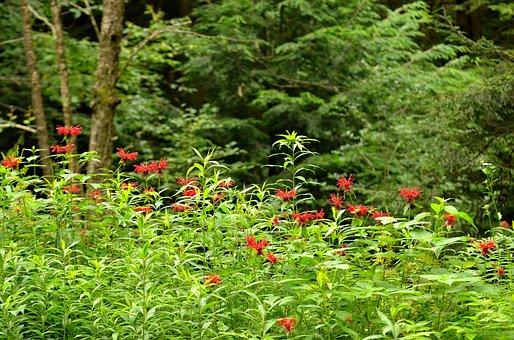Bergamot, Flower, Bee, Balm, Wildflower, Wild, Bloom
