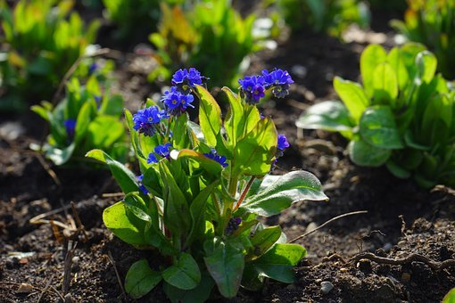 Forget Me Not, Flower, Blossom, Bloom, Blue, Raindrop