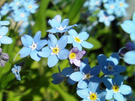 Myosotis, Forget-me-not, Flower, Blue, Blue Stickseed