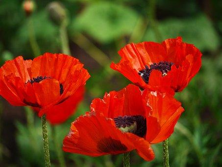 Klatschmohn, Triplets, Rain Field, Meadow, Blossom