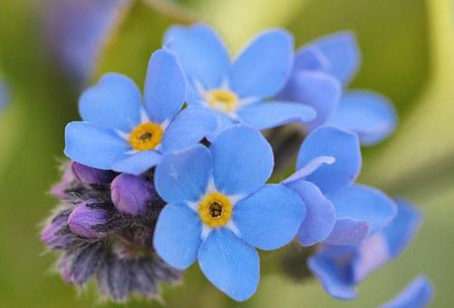 Forget Me Not, Flowers, Flower, Blue, Plant, Macro