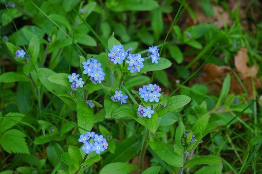 Forget Me Not, Myosotis, Flower, Meadow, Flowers, Blue