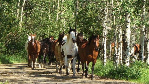 Horses, Nature, Aspens