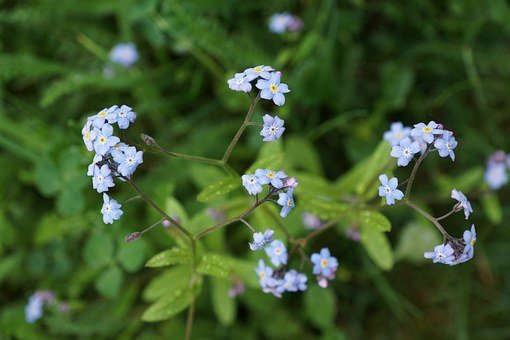 Forget Me Not, Flower, Blue, Nature, Bloom, Garden