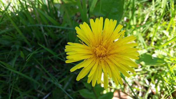 Dandelion, Yellow, Our, Weeds, Flower