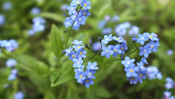 Forget Me Not, Meadow, Blue, Plant, Garden, Summer
