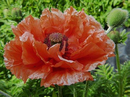 Poppy, Klatschmohn, Poppy Flower, Red, Flower