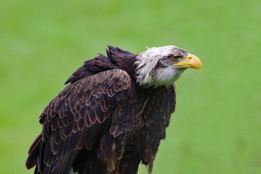 Bald Eagle, Eagle, Bird, Animal, Wildlife, Raptor, Wild
