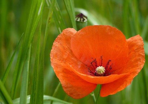 Poppy, Red, Klatschmohn, Meadow, Field, Red Poppy